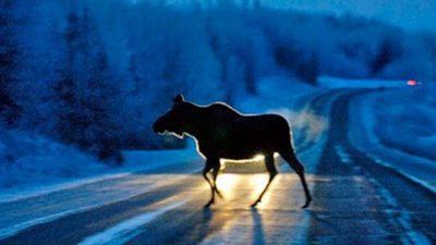 В Кемеровском районе ВАЗ сбил лося, погиб водитель авто