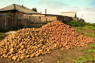В Роскачестве рассказали, каким должен быть идеальный картофель
