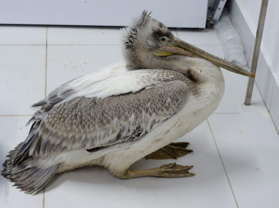 Угостите рыбкой: найденному в Кузбассе пеликану нужна помощь