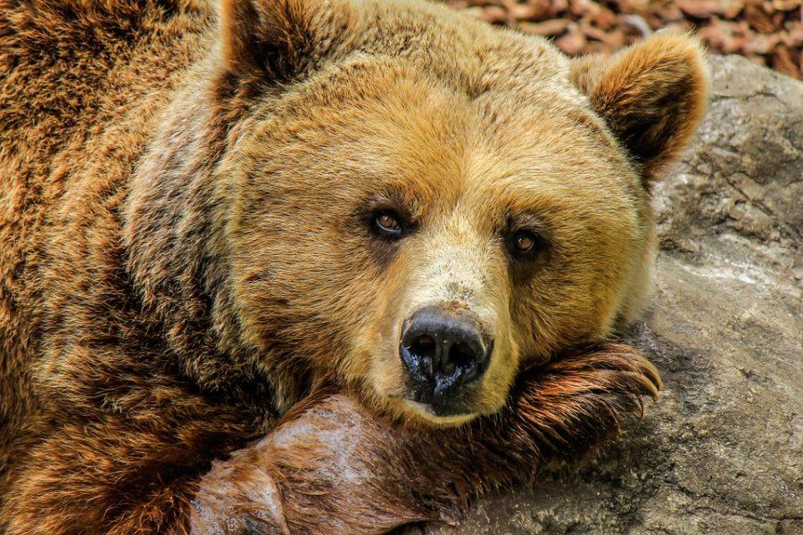Соцсети: в Кузбассе медведи-людоеды нападают на людей