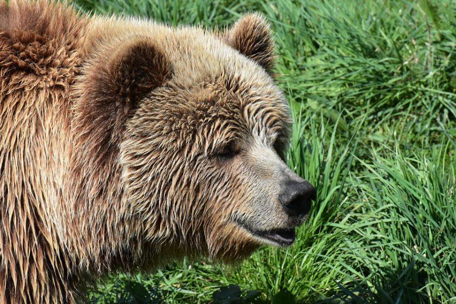 Видео: нашествие медведей на кузбасский посёлок