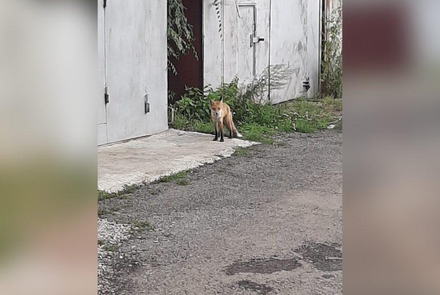 Фото: в кузбасском городе заметили лесного хищника