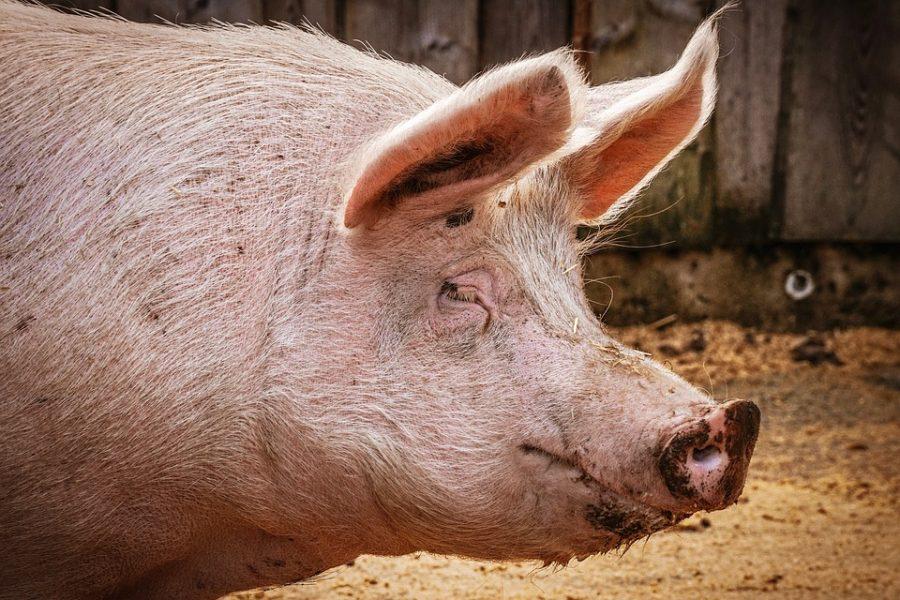 Россельхозбанк поддерживает выход российских свиноводов на китайский рынок