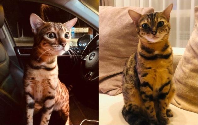 Девушка готова заплатить 50 000 рублей за пропавшую кошку в Кузбассе