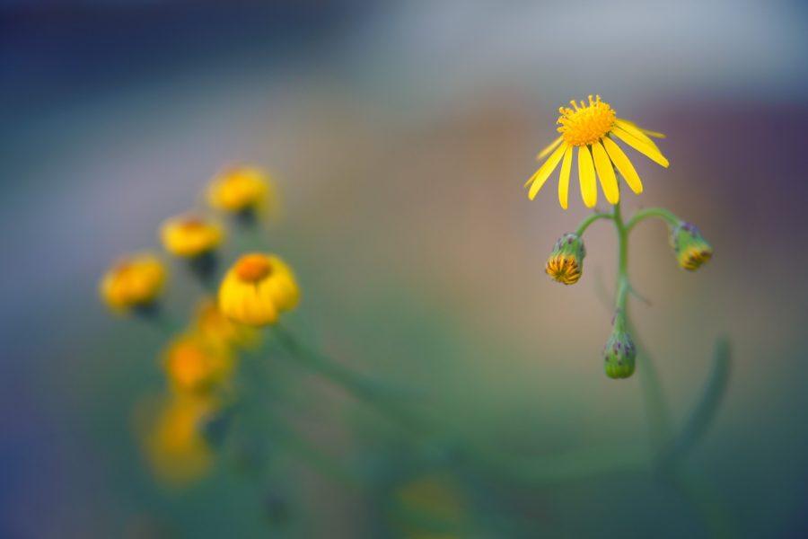 В Кемерове в ноябре распустились цветы